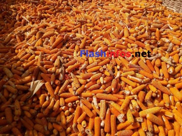 SEDHIOU: Le Marabout Elhadji Sidiya Dramé dans ses champs d'arachide et de maïs de Ndjama....