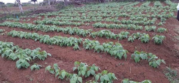 Goudoump : Les producteurs tournent le dos à l'arachide et adoptent la culture de la patate douce.