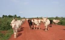 Vol massif de bétail : 40 jeunes Bissau-Guinéens arrêtés à Fardianto Sénégal