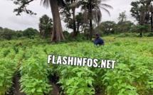 Baldé a cultivé du sésame et du Taro dans son champ à Darsalam (images)